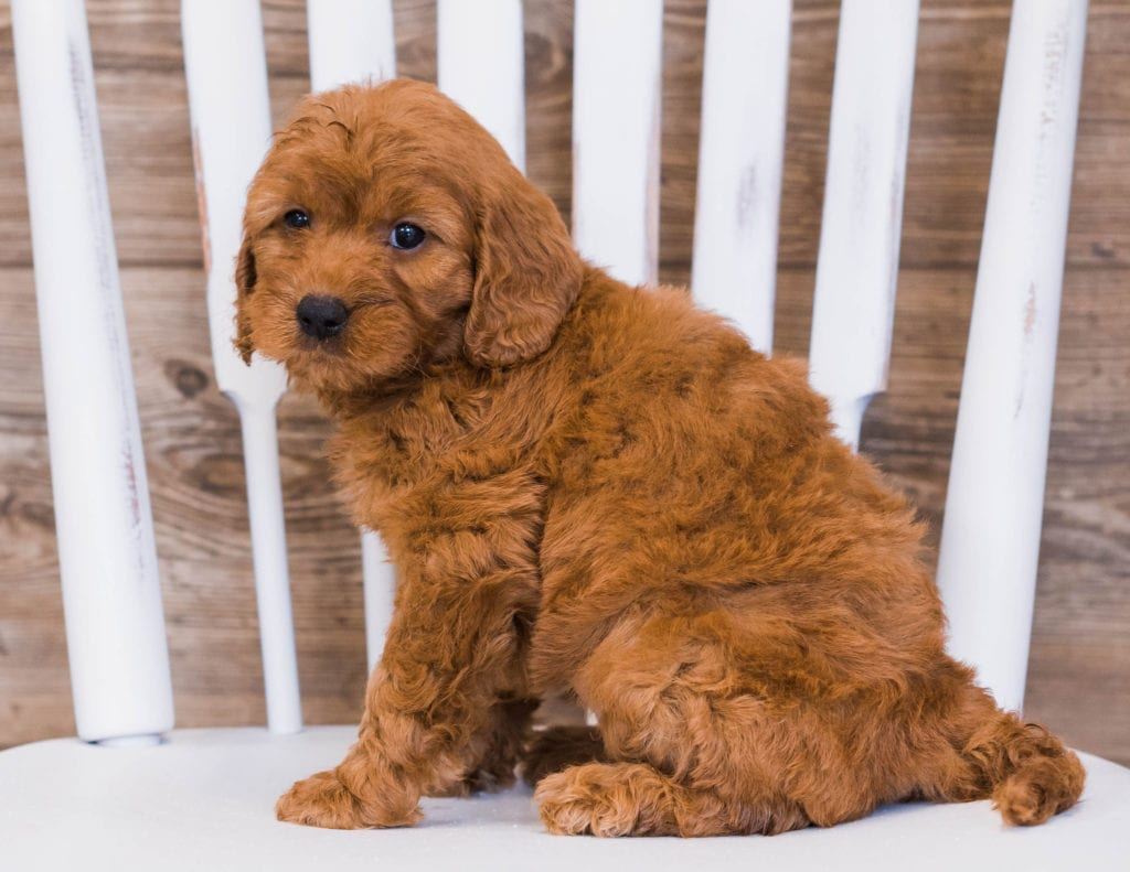 Rayna came from Jazzy and Rugar's litter of F1 Goldendoodles