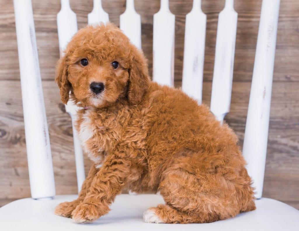 Reba is an F1 Goldendoodle that should have  and is currently living in Flordia