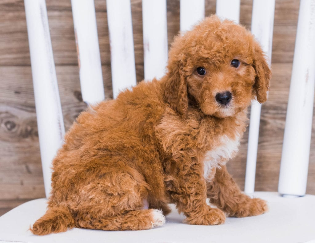 Reba came from Jazzy and Rugar's litter of F1 Goldendoodles