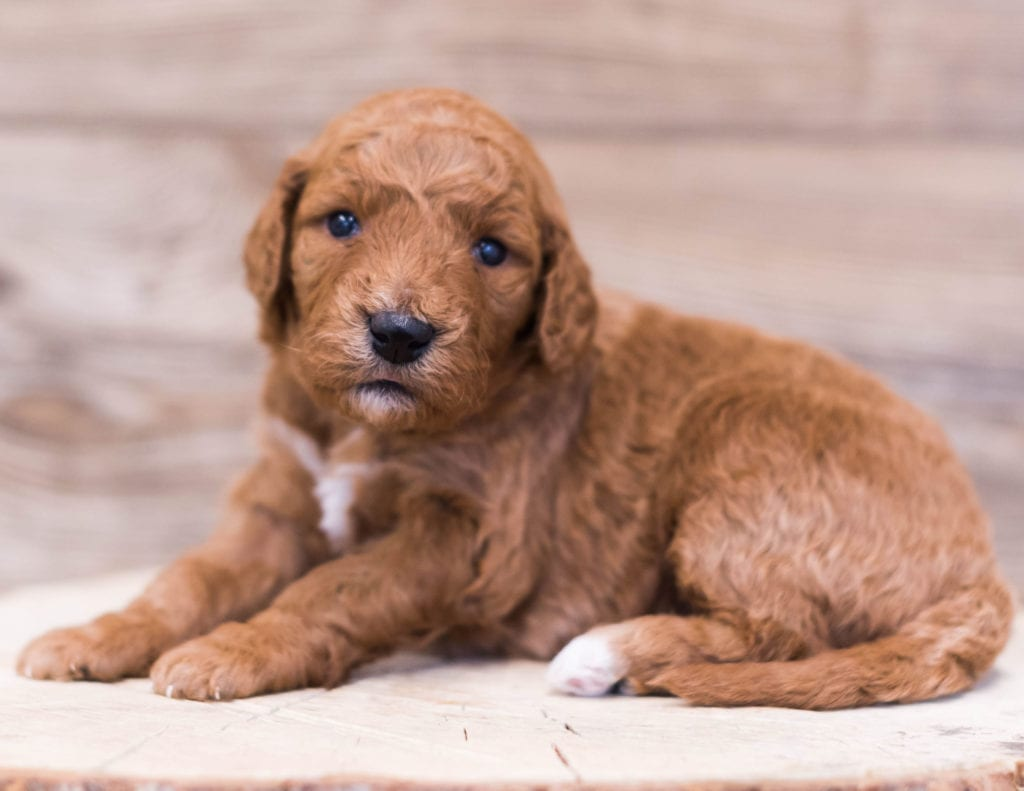 A picture of a Reveka, one of our Mini Goldendoodles for sale