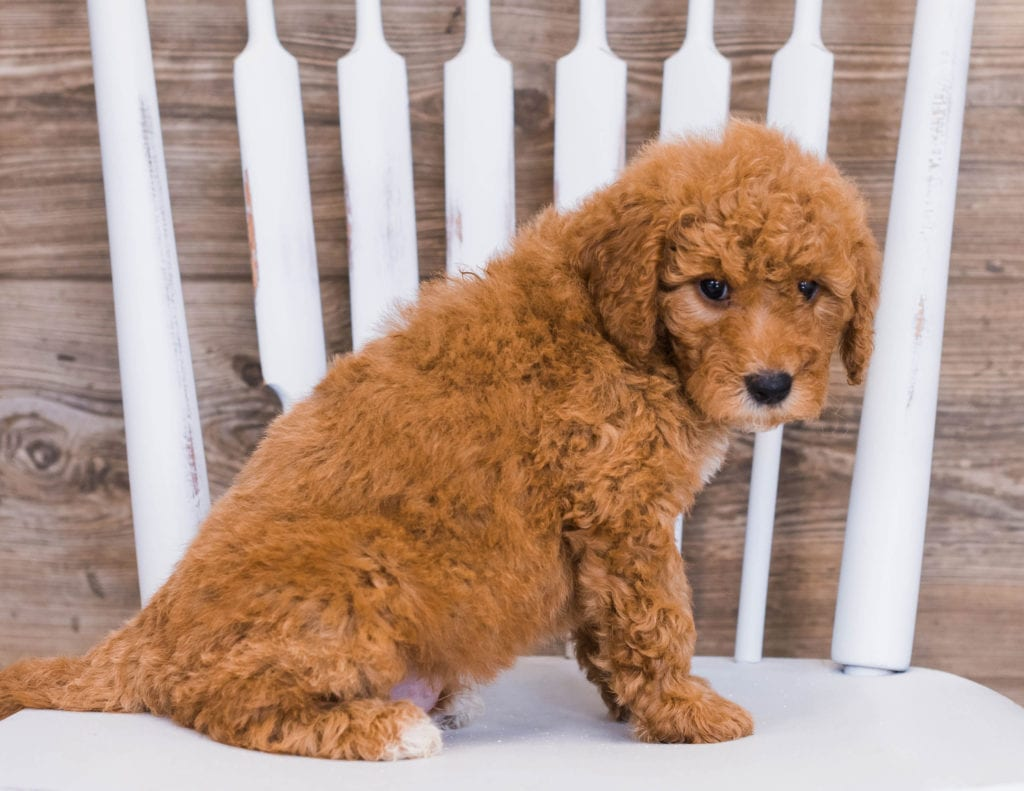 Reveka came from Jazzy and Rugar's litter of F1 Goldendoodles