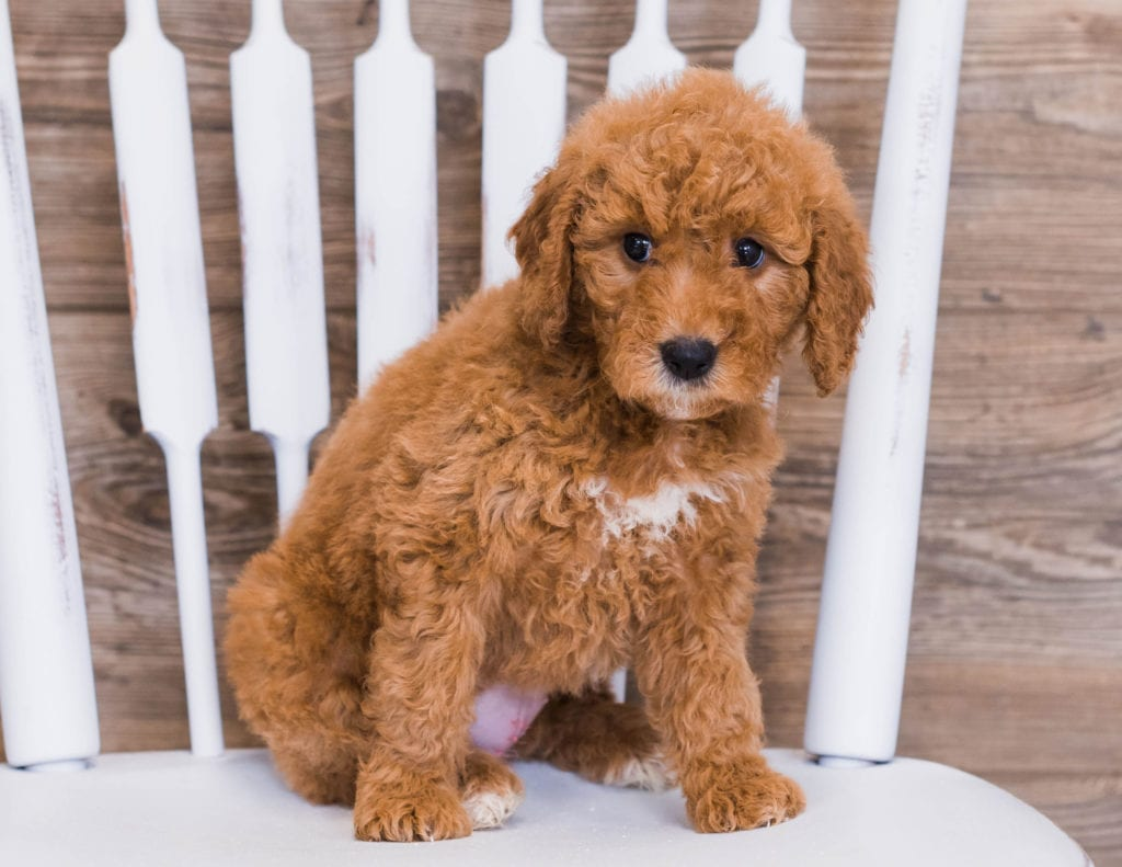 Reveka is an F1 Goldendoodle that should have  and is currently living in Illinois