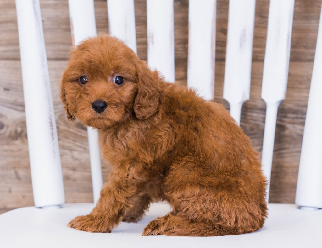 Ringo came from Jazzy and Rugar's litter of F1 Goldendoodles