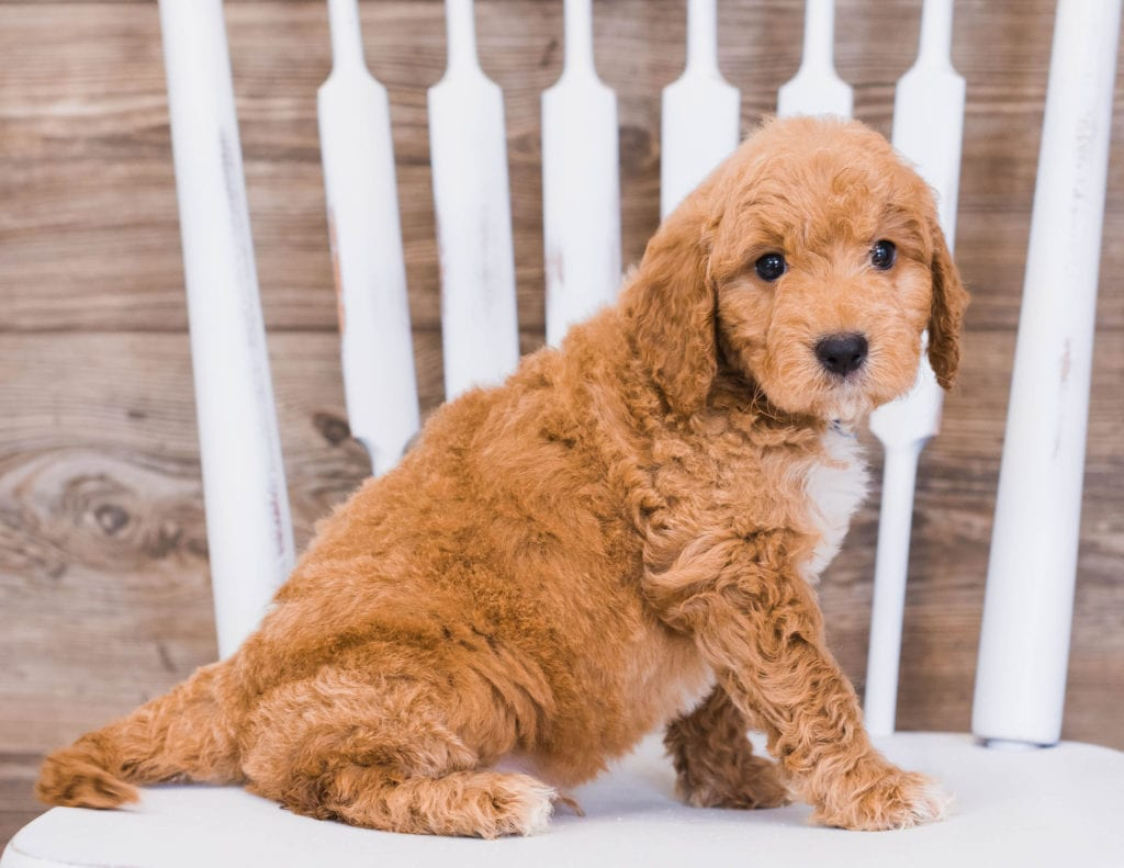 Ripley is an F1 Goldendoodle that should have  and is currently living in Iowa