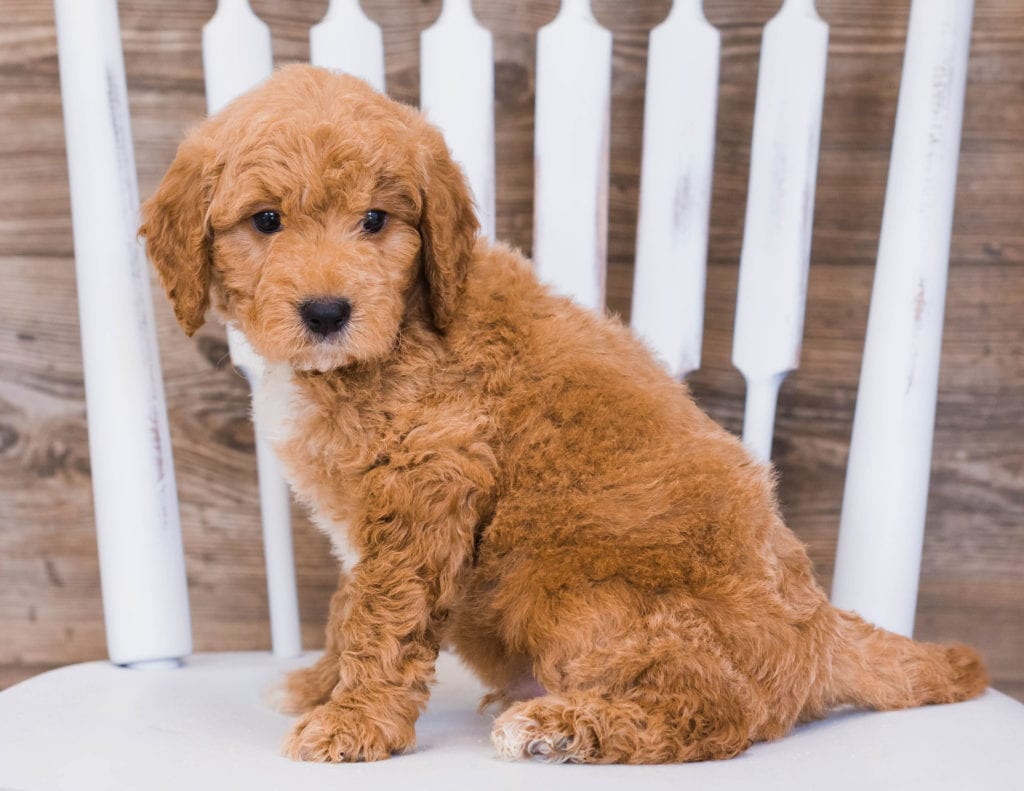 Ripley came from Jazzy and Rugar's litter of F1 Goldendoodles