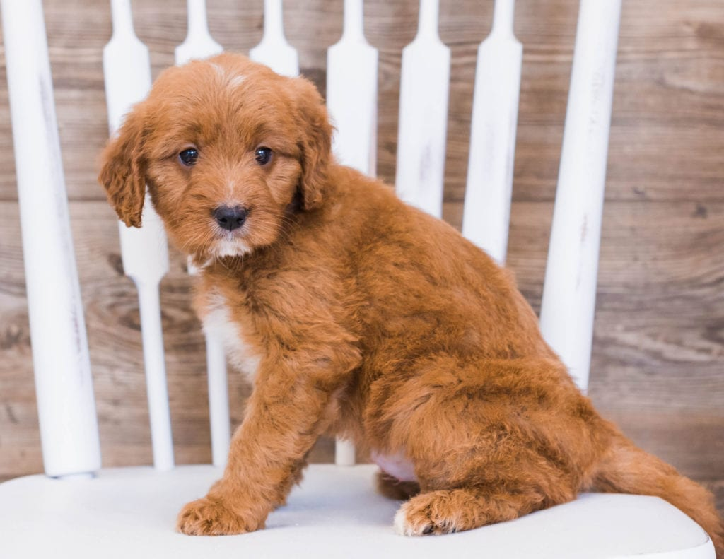 Rose came from Jazzy and Rugar's litter of F1 Goldendoodles