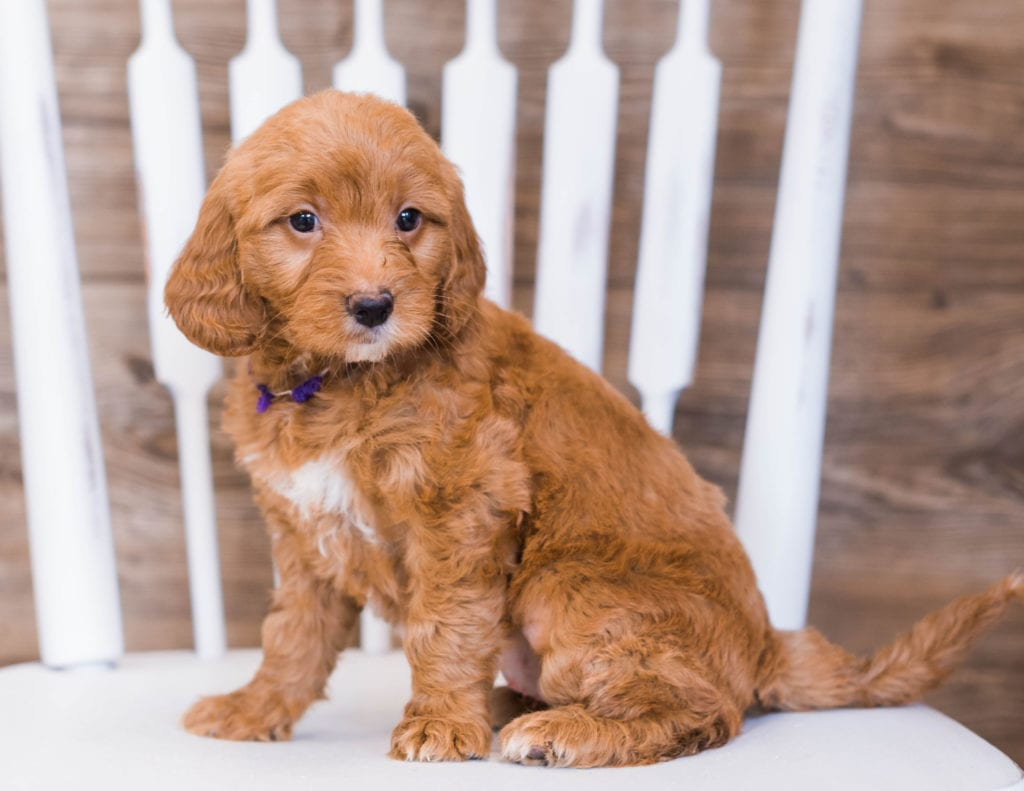 Ruby is an F1 Goldendoodle that should have  and is currently living in Vermont