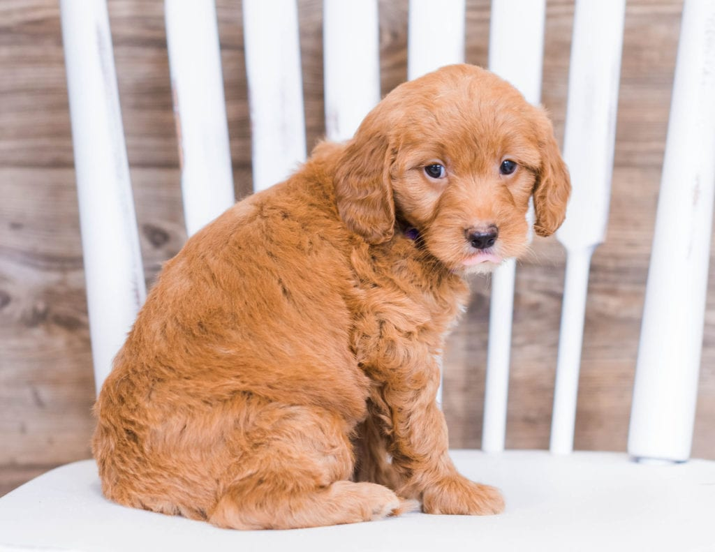 Ruby came from Jazzy and Rugar's litter of F1 Goldendoodles