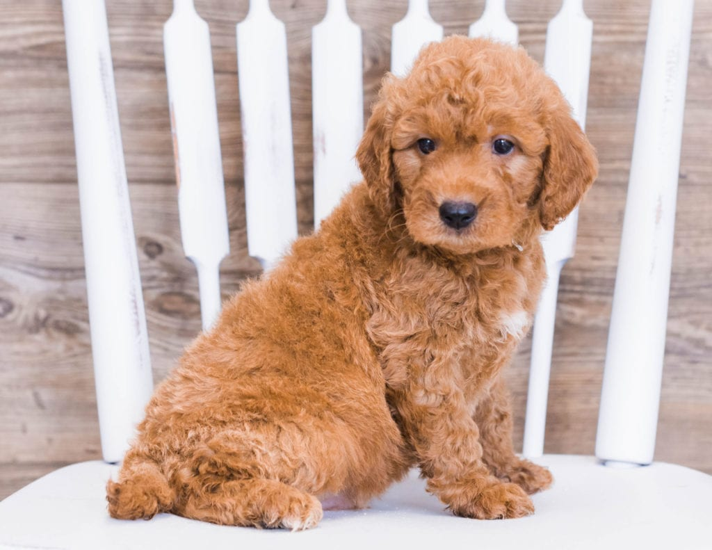 Rue is an F1 Goldendoodle that should have  and is currently living in Minnesota