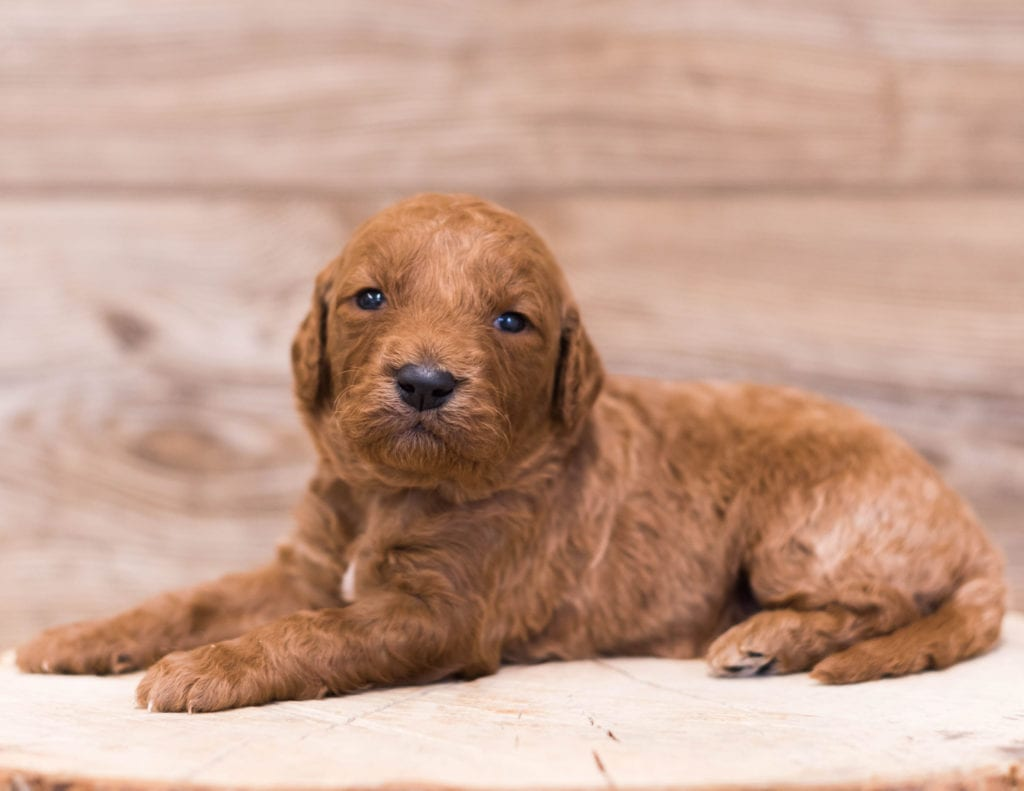 Rue came from Jazzy and Rugar's litter of F1 Goldendoodles