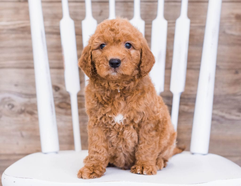 A picture of a Rue, one of our Mini Goldendoodles puppies that went to their home in Minnesota