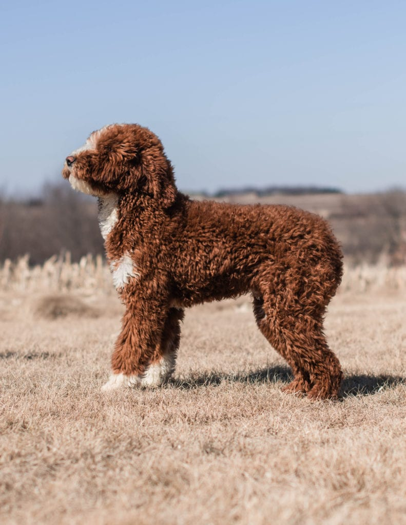 Goldendoodles bred in in Iowa by Poodles 2 Doodles