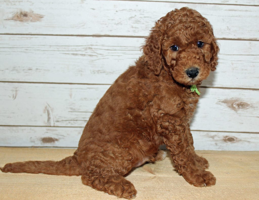 Xavier is an F2B Goldendoodle that should have  and is currently living in New York