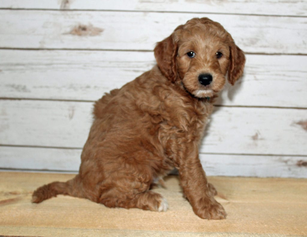 X-ray is an F2B Goldendoodle that should have  and is currently living in Minnesota
