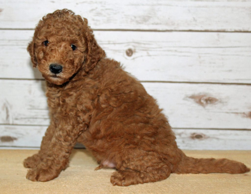 Xukes is an F2B Goldendoodle that should have  and is currently living in Iowa