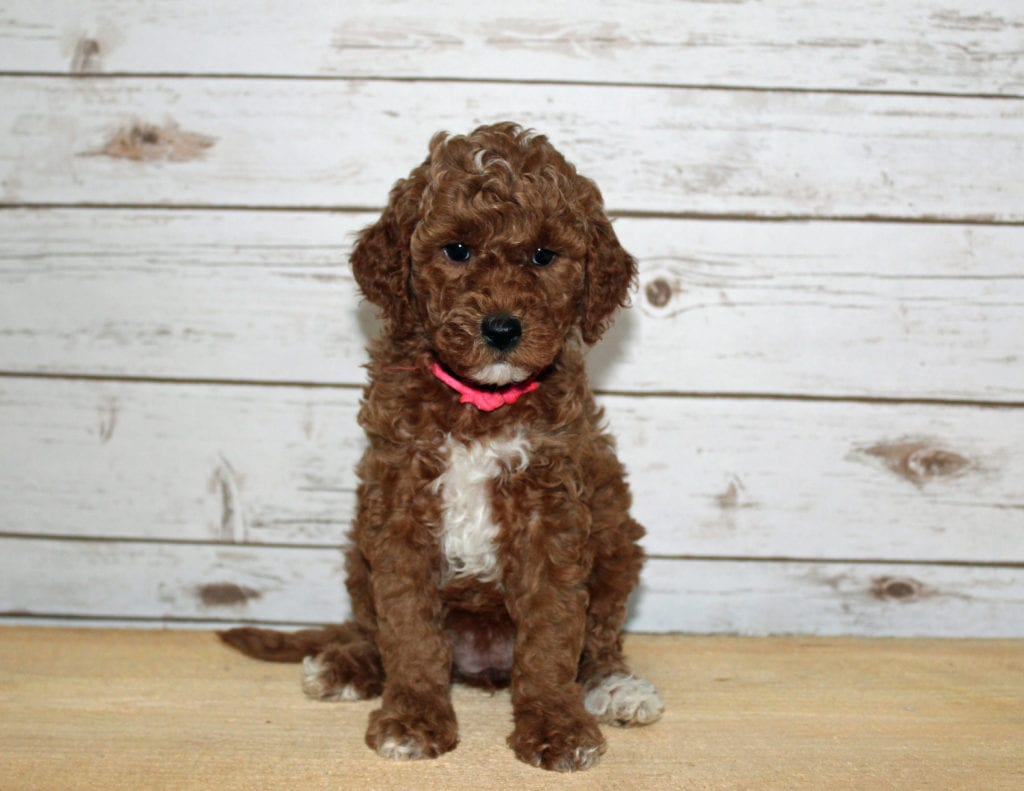 A picture of a Xabella, one of our Mini Goldendoodles puppies that went to their home in Louisiana