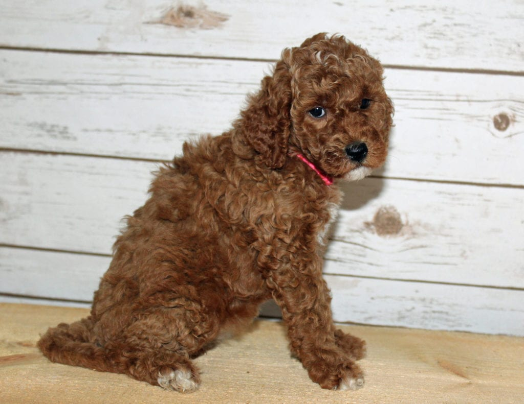 Xabella is an F2B Goldendoodle that should have  and is currently living in Louisiana