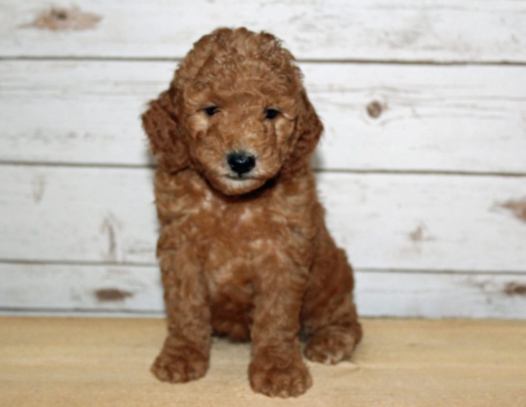 Xyla is an F2B Goldendoodle that should have  and is currently living in Iowa