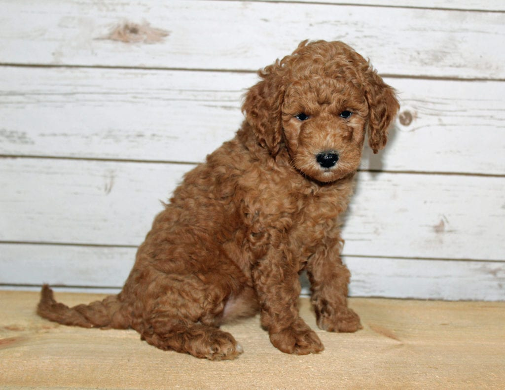 Xandy is an F2B Goldendoodle that should have  and is currently living in Missouri