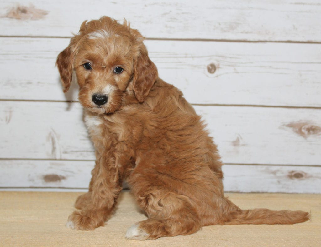 Xia is an F2B Goldendoodle that should have  and is currently living in Illinois