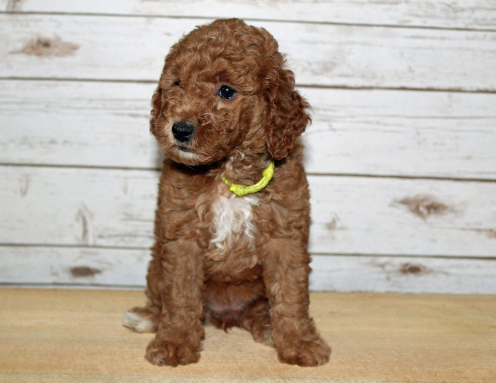 Mini Goldendoodles with hypoallergenic fur due to the Poodle in their genes. These Goldendoodles are of the F2B generation. For more info on generations, view our specific breed page for Goldendoodles.