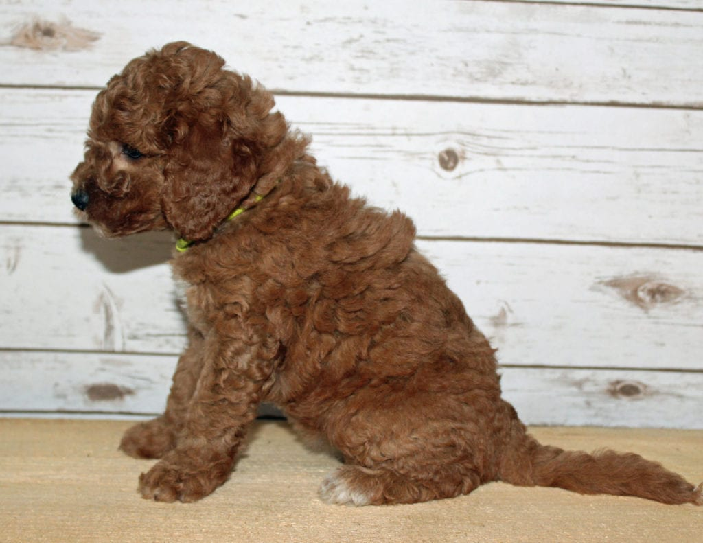 Xavi is an F2B Goldendoodle that should have  and is currently living in Arkansas