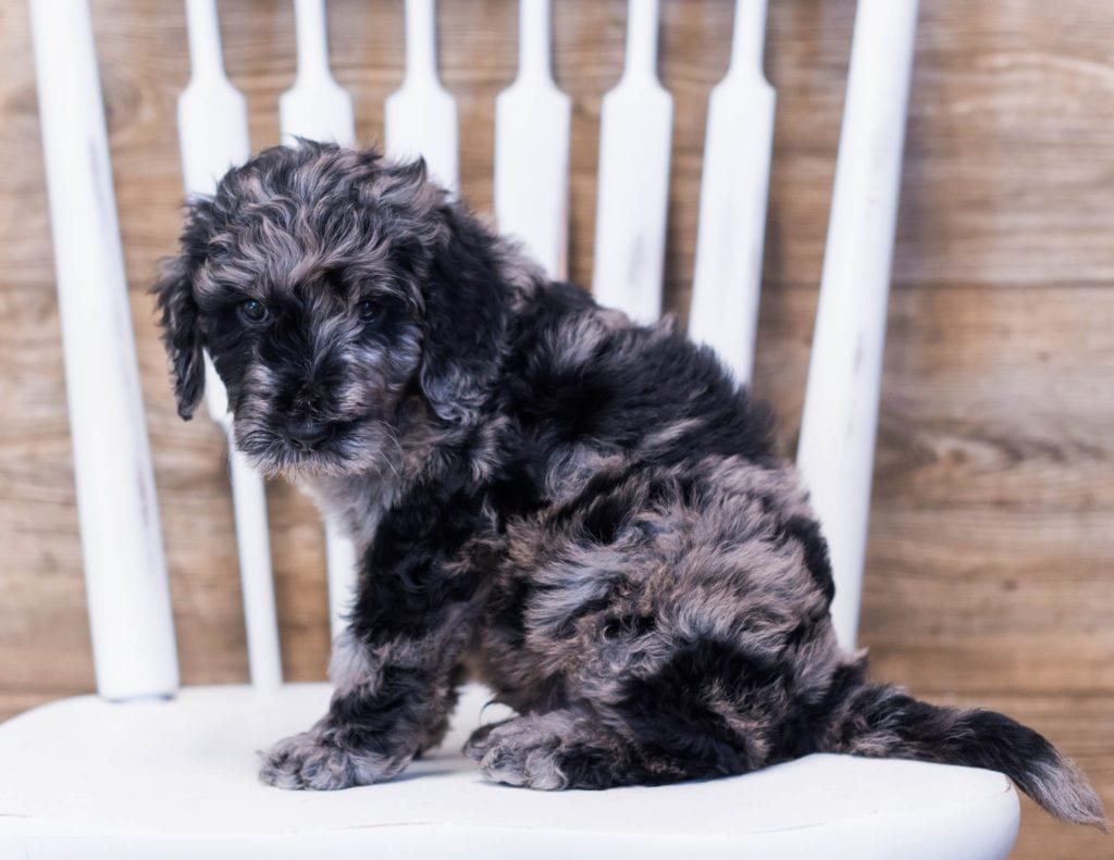 Aci came from Maci and Merlin's litter of F1B Goldendoodles