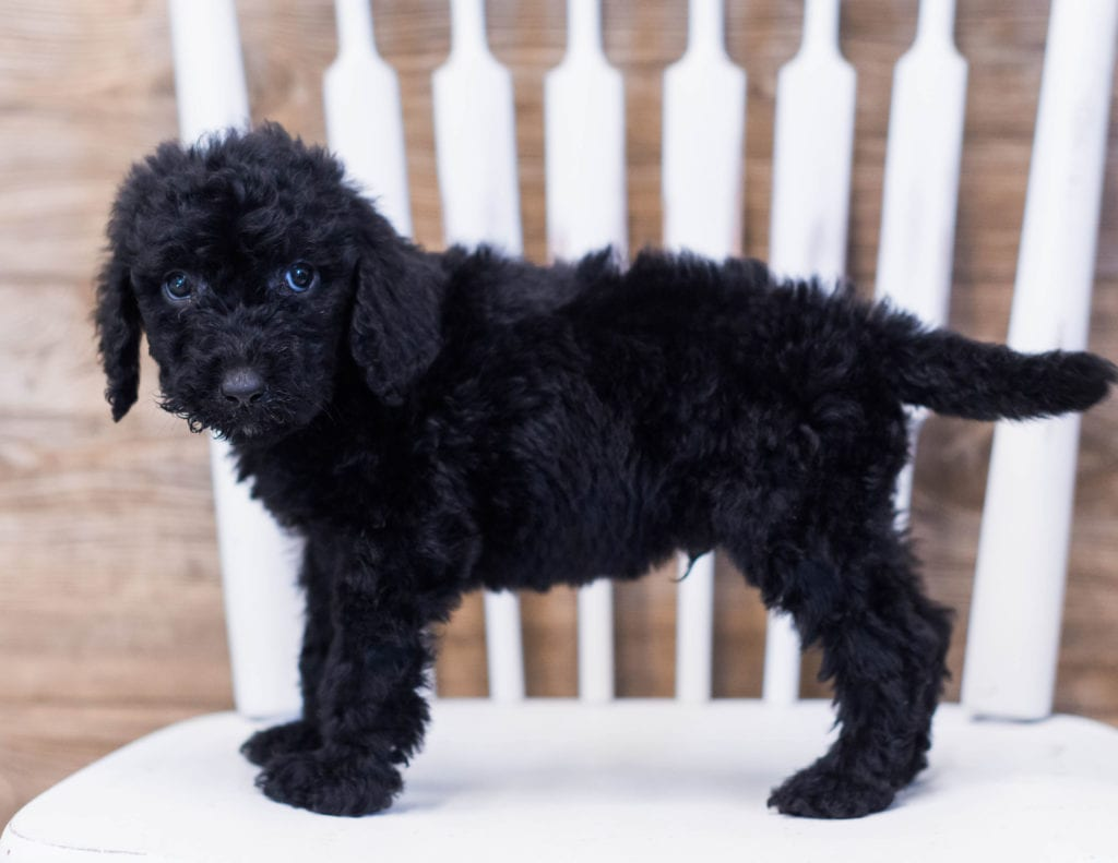 Acky came from Maci and Merlin's litter of F1B Goldendoodles