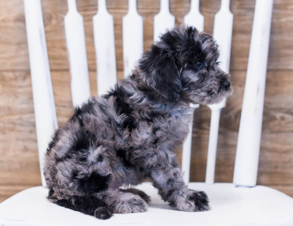 Ada came from Maci and Merlin's litter of F1B Goldendoodles