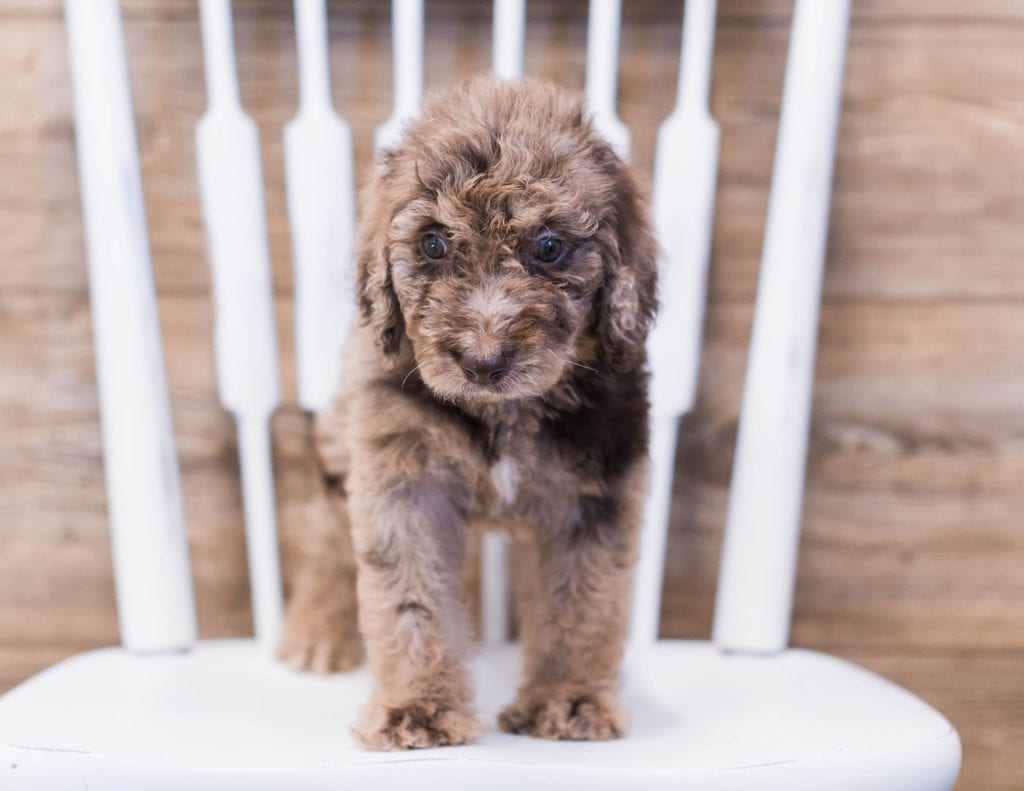 Addie came from Maci and Merlin's litter of F1B Goldendoodles