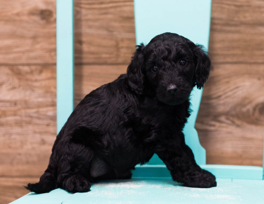 Adele came from Maci and Merlin's litter of F1B Goldendoodles