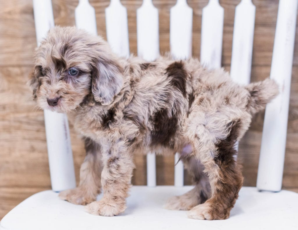 Aick came from Maci and Merlin's litter of F1B Goldendoodles