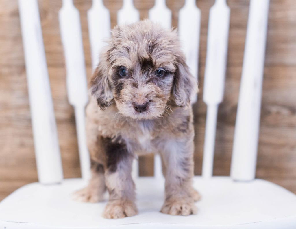 A picture of a Aick, one of our Standard Goldendoodles puppies that went to their home in California