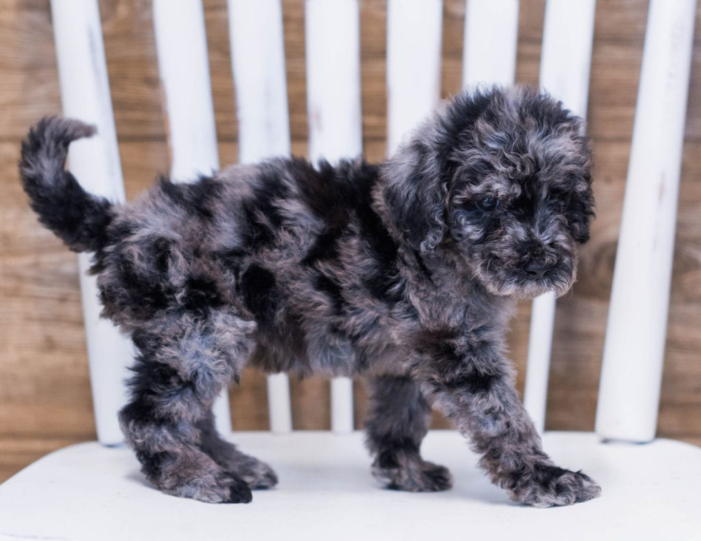Ajax came from Maci and Merlin's litter of F1B Goldendoodles