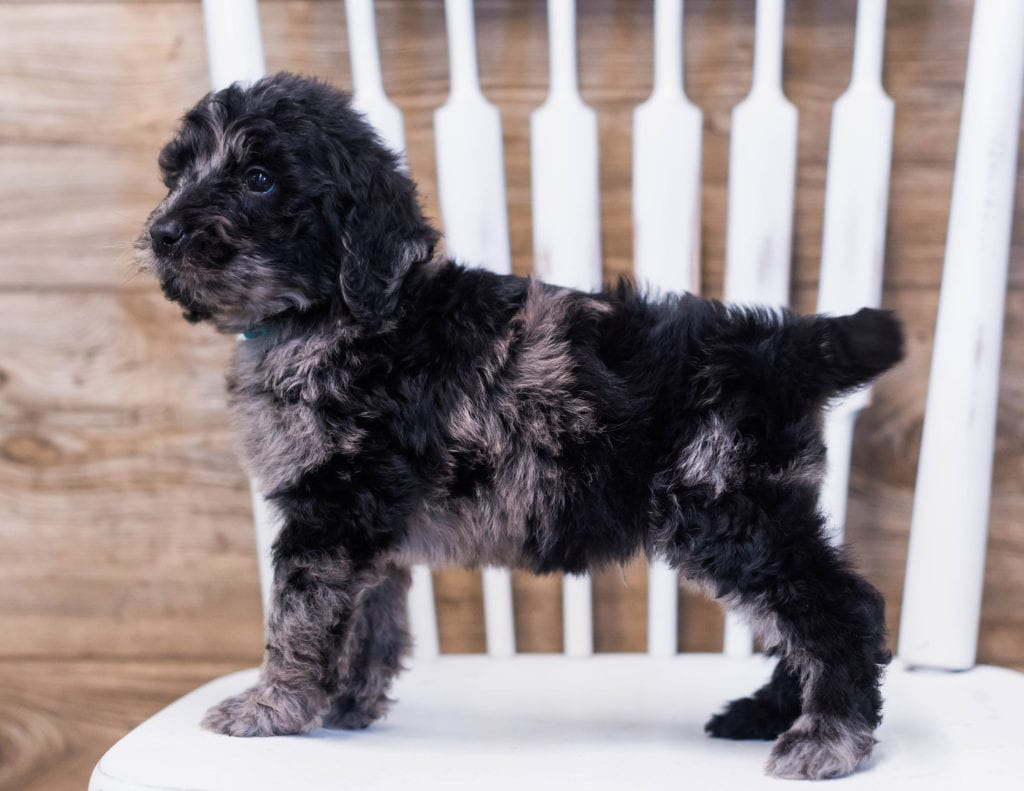Alfred is an F1B Goldendoodle that should have  and is currently living in Minnesota