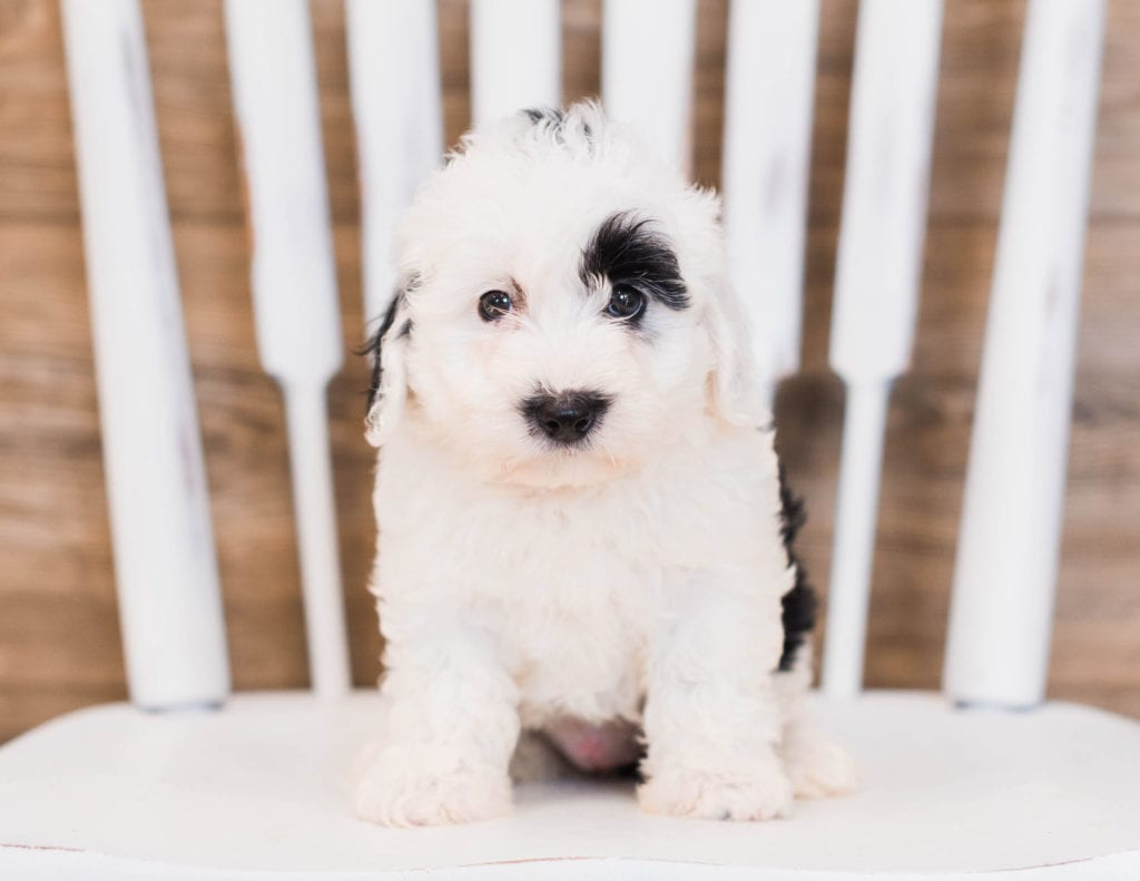 Babe is an F1 Sheepadoodle that should have  and is currently living in Georgia