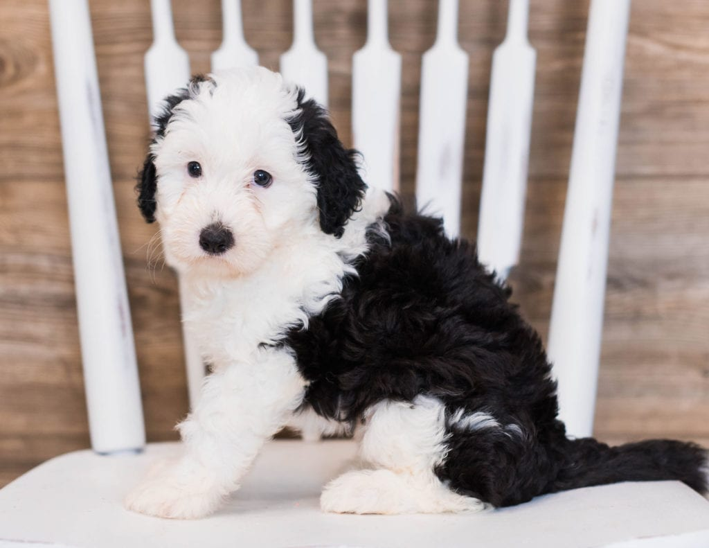 A picture of a Betty, one of our Mini Sheepadoodles puppies that went to their home in California