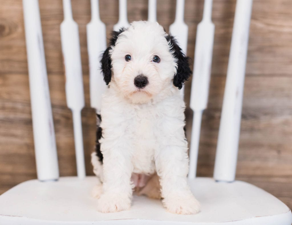 Betty is an F1 Sheepadoodle that should have  and is currently living in California