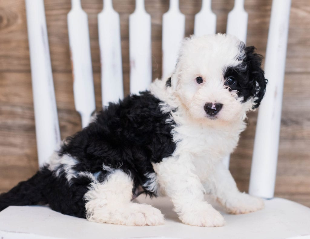 A picture of a Bibi, one of our Mini Sheepadoodles puppies that went to their home in Connecticut