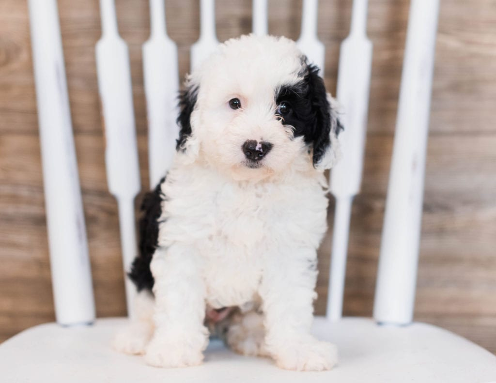 Bibi is an F1 Sheepadoodle that should have  and is currently living in Connecticut