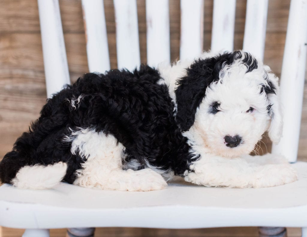 Blair is an F1 Sheepadoodle that should have  and is currently living in California