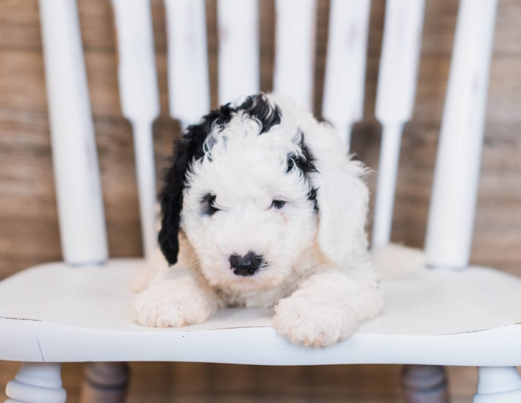 A picture of a Blair, one of our Mini Sheepadoodles puppies that went to their home in California