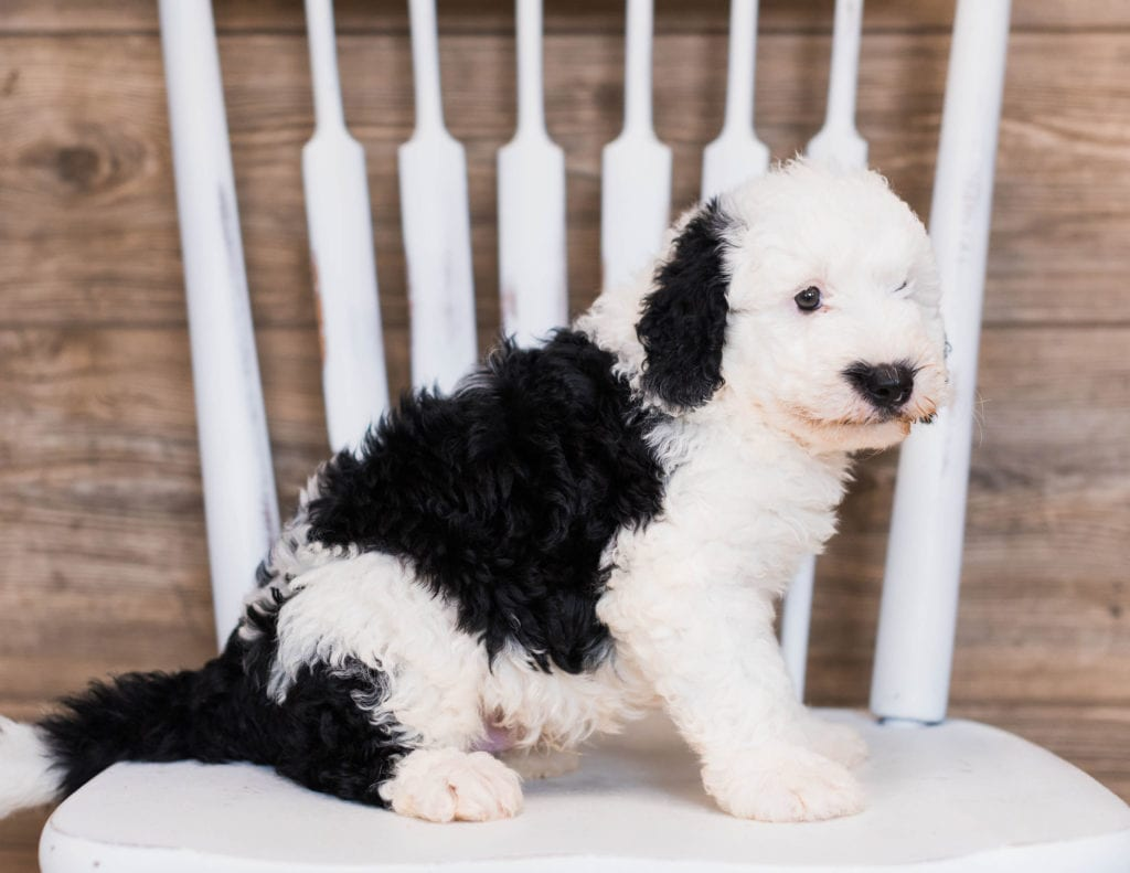 A picture of a Blaze, one of our Mini Sheepadoodles puppies that went to their home in Flordia