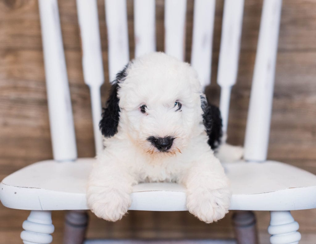 Blaze is an F1 Sheepadoodle that should have  and is currently living in Flordia