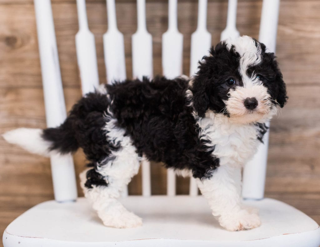 A picture of a Brie, one of our Mini Sheepadoodles puppies that went to their home in Illinois