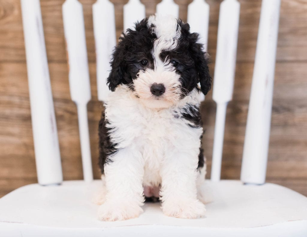 Brie is an F1 Sheepadoodle that should have  and is currently living in Illinois