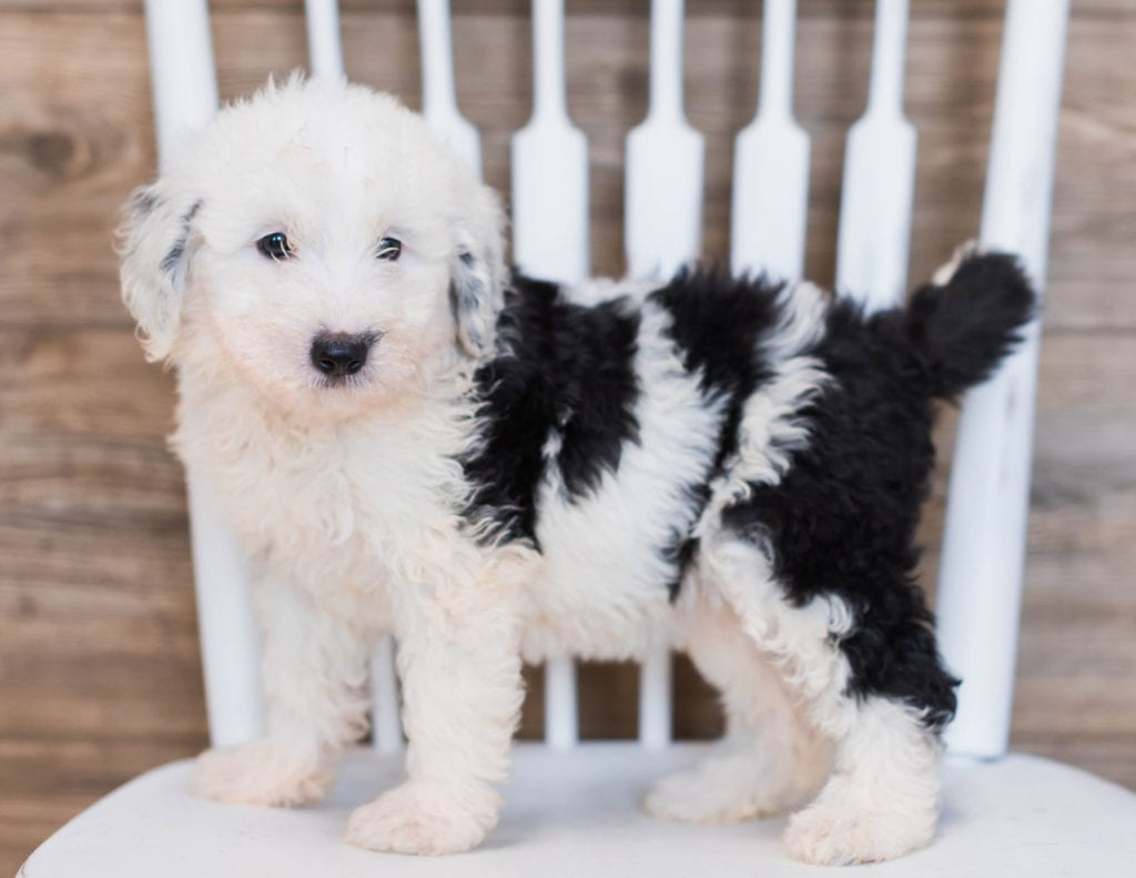 A picture of a Candy, one of our Mini Sheepadoodles puppies that went to their home in South Dakota
