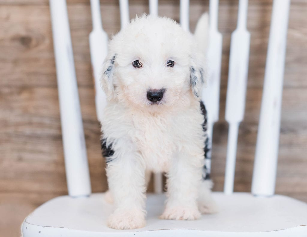Candy is an F1 Sheepadoodle that should have  and is currently living in South Dakota