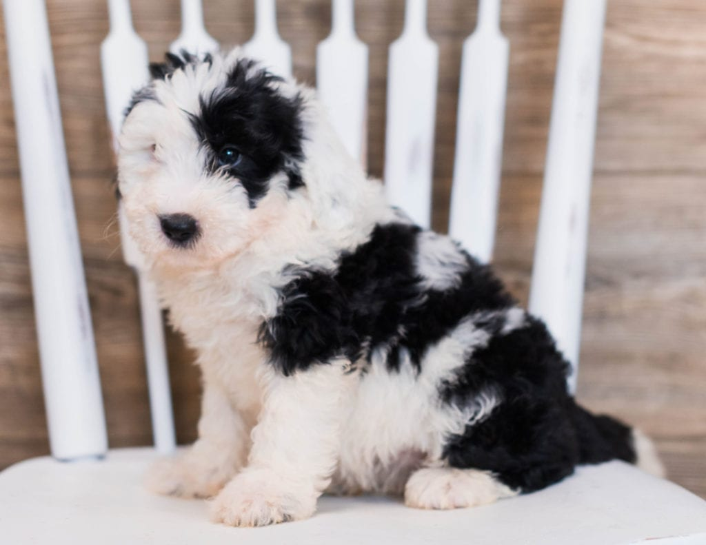 Carly is an F1 Sheepadoodle that should have  and is currently living in Connecticut