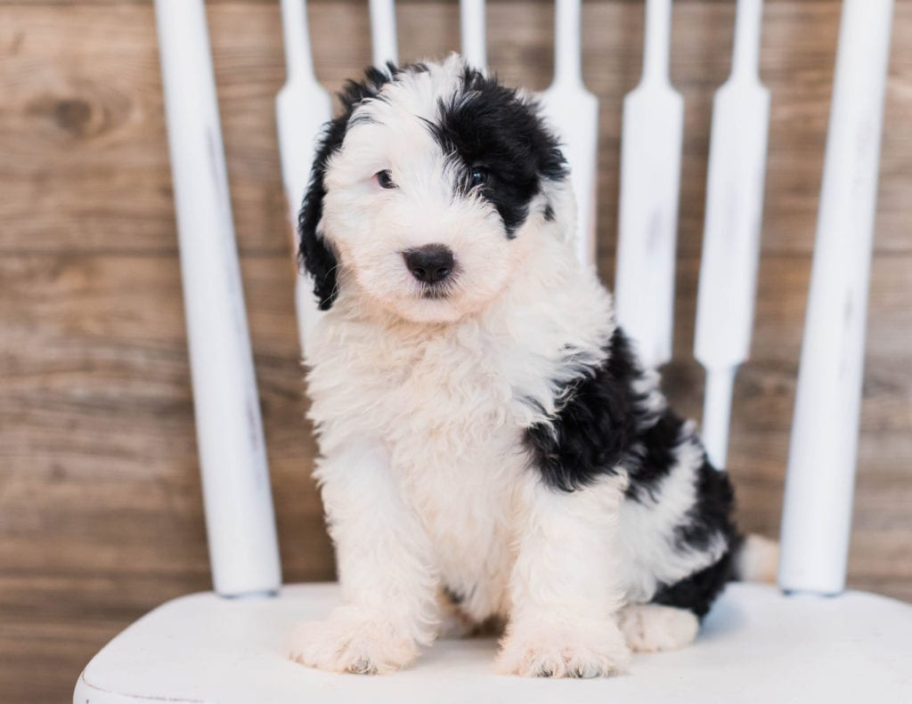 A picture of a Carly, one of our Mini Sheepadoodles puppies that went to their home in Connecticut